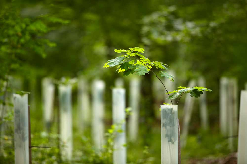 Tree saplings protected with tree guards